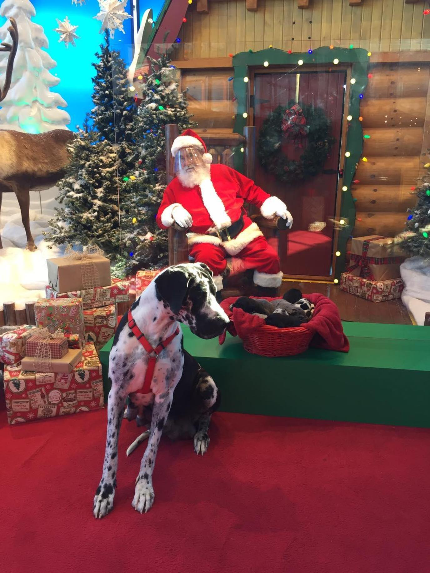 Great Dane poses with puppies in front of Bass Pro Shops Santa with face shield in 2020.
