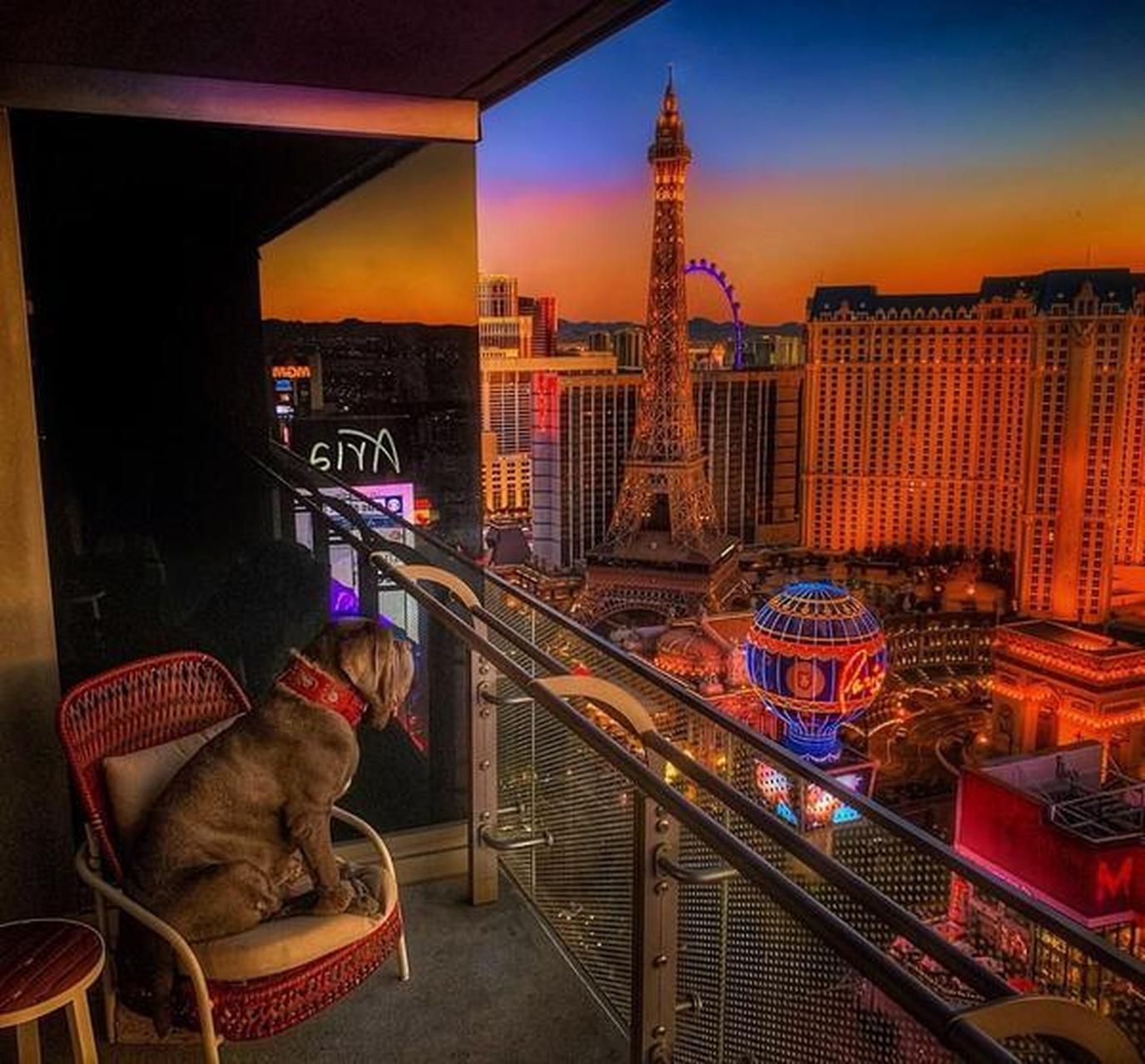 A dog on the balcony of the pet-friendly Cosmopolitan Hotel Las Vegas