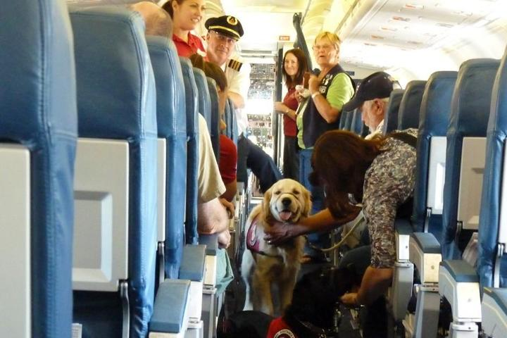 A service dog boards a flight.
