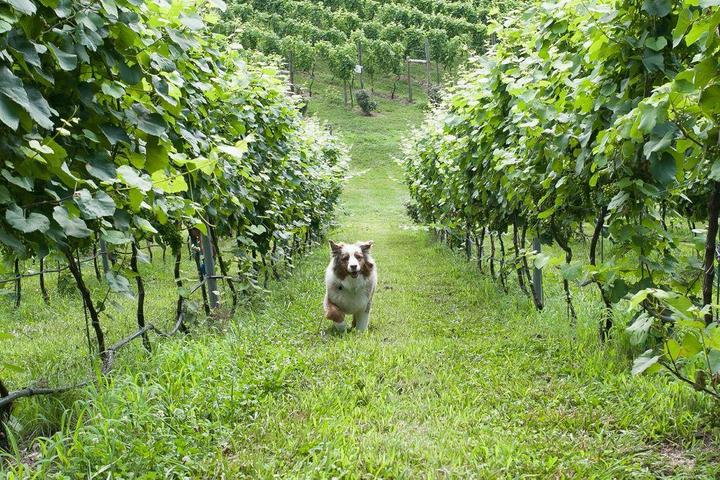 Pet Friendly Potomac Point Vineyard & Winery