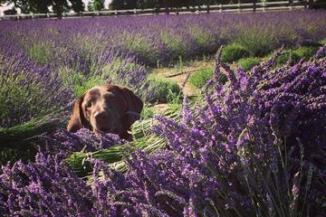 Pet Friendly Pageo Lavender Farm