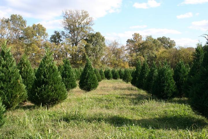 Pet Friendly Country Cove Christmas Tree Farm