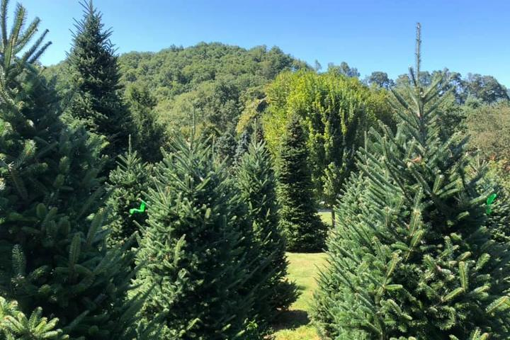 Pet Friendly Boyd Mountain Christmas Tree Farm