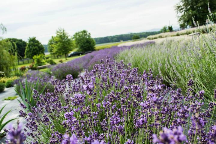 Pet Friendly White Oak Lavender Farm & The Purple Wolf Tasting Room