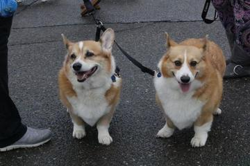 Pet Friendly CorgChella: Corgi Dog Races & Concert Event Featuring The Issue