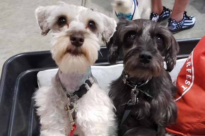 Pet Friendly Schnauzerfest Rome