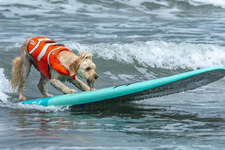 Pet Friendly World Dog Surfing Championships