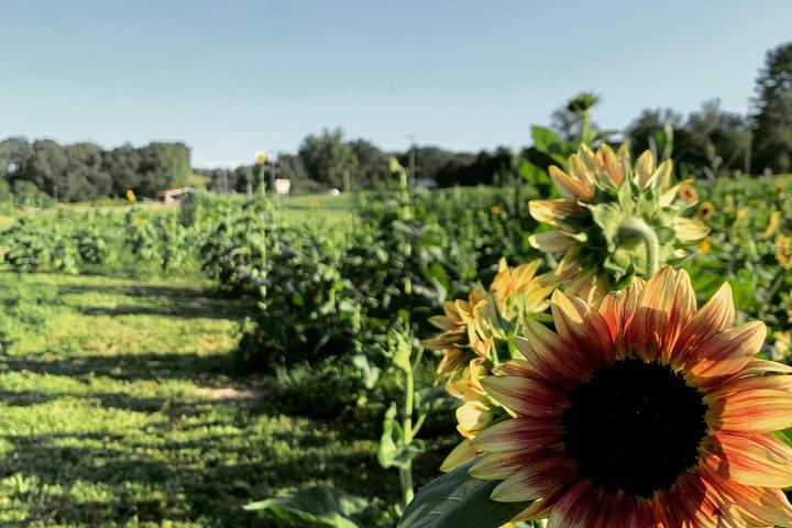 Pet Friendly South Carolina Sunflower Festival