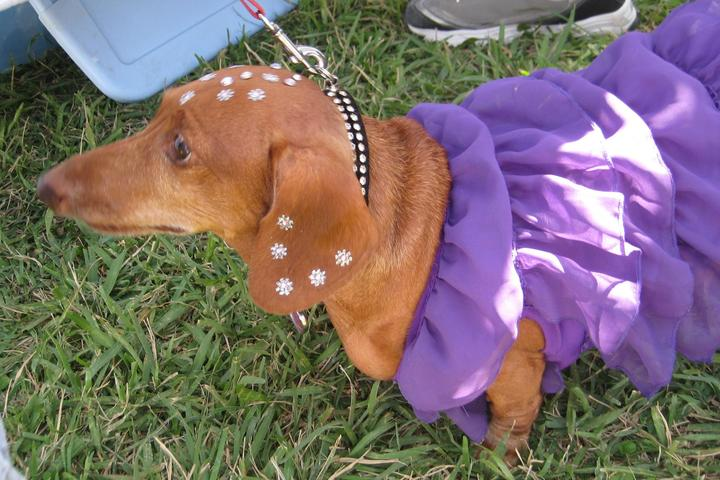 Pet Friendly Dachshund Rescue South Florida VIRTUAL Wienerfest