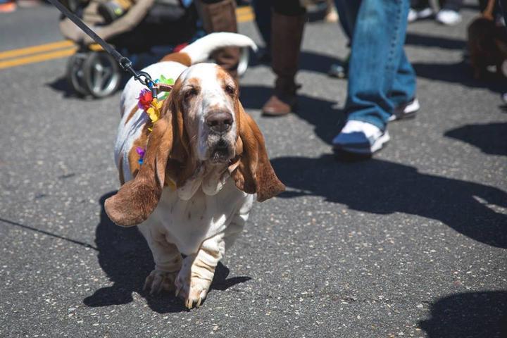 Pet Friendly Tri-State Basset Hound Rescue BoardWaddle