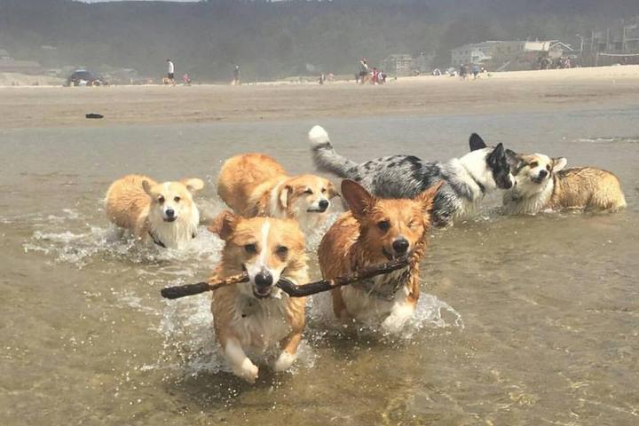 Pet Friendly Oregon Corgi Beach Day