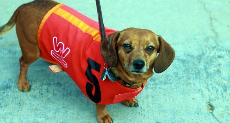 Wienerschnitzel Wiener Nationals Dog Races at the California