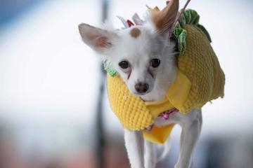 Pet Friendly Chihuahua Beauty Pageant at the Chi Town Hot Sauce Expo