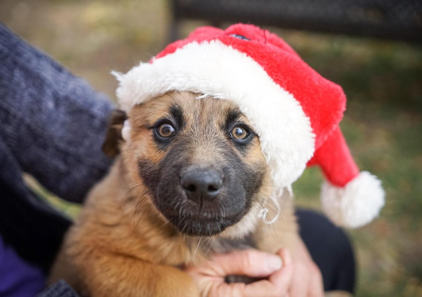 Dog in Santa hat grins for photoshoot.