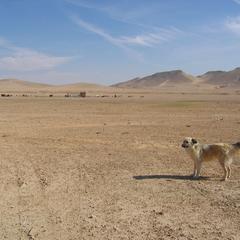 Sheepdog in Syria