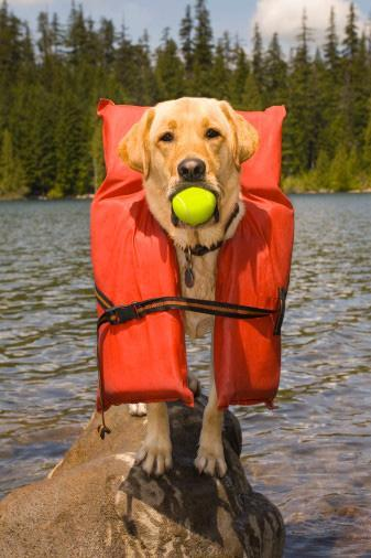 Dog with Lifejacket and Tennis Ball