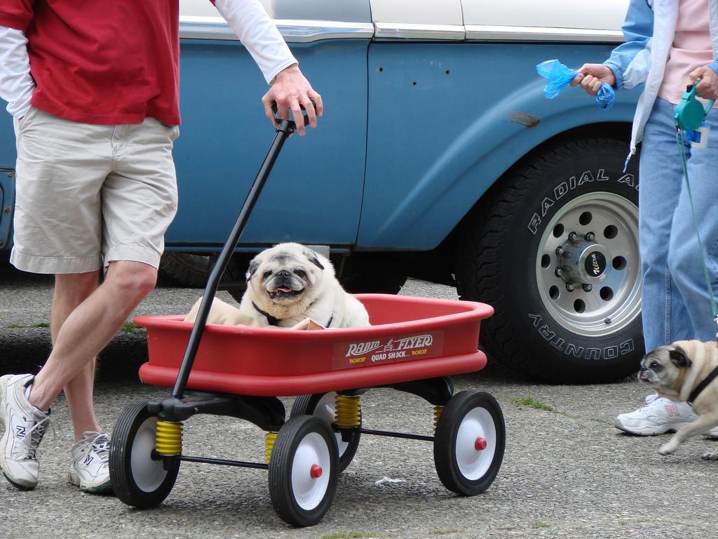 Pug in a Wagon