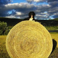 Dog on Bale of Hay