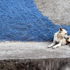 Honduras Dog