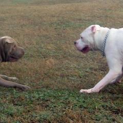 Bear and Casper face off in Barley Dog Park