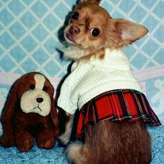 Cheeky Chihuahua School's Out