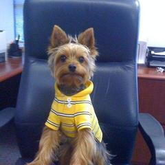 """Doggie Trump Says: """"Your Fired!!"""""""