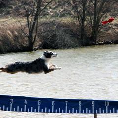 #1 Australian Shepherd in Dock Diving