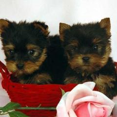 Cute T-cup Yorkie Puppies For Cristmas