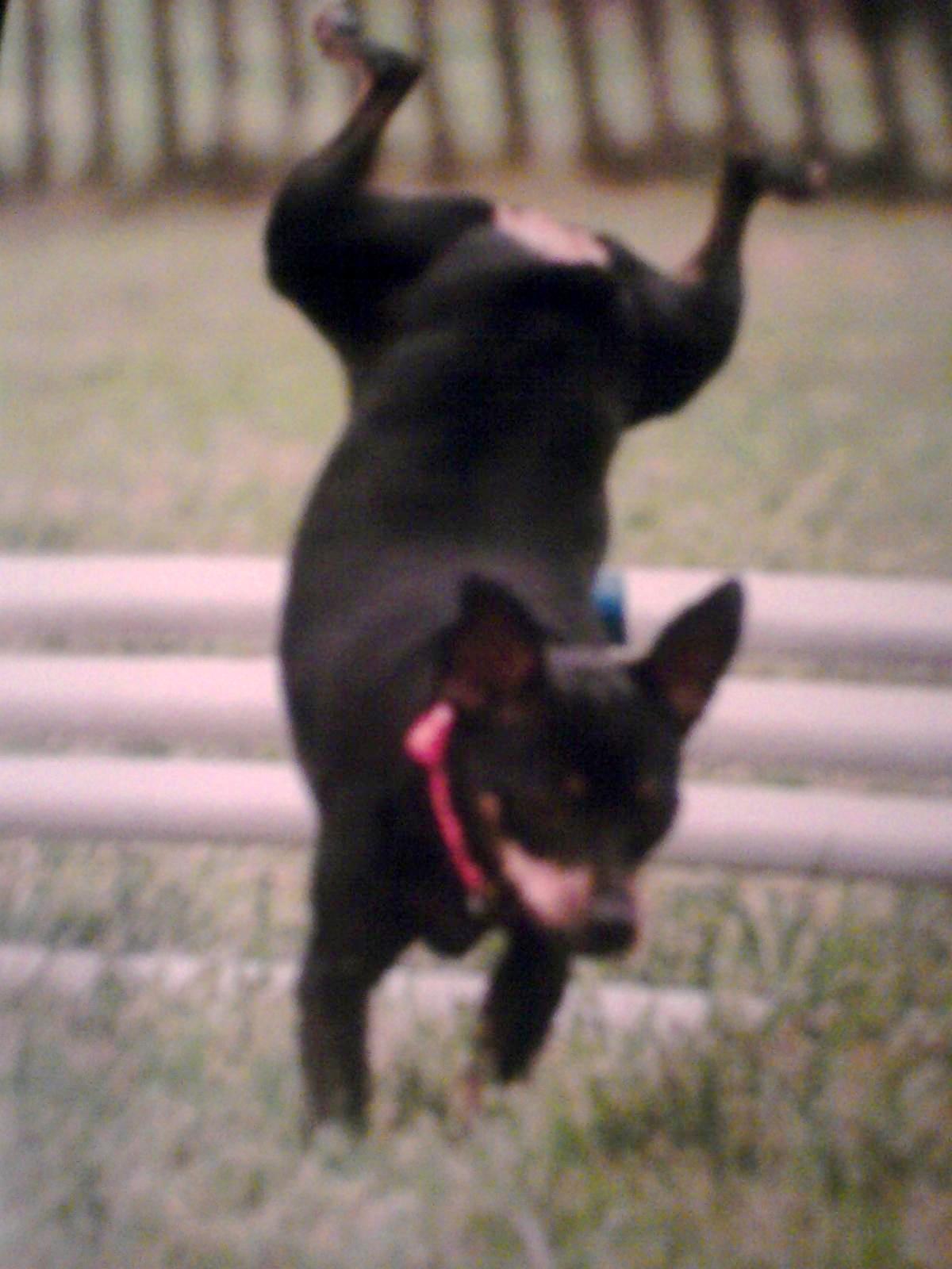 Doggie Gymnastics