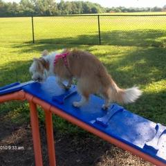 Lexi playing on the agility equipment