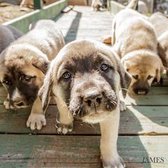 anatolian shepherd puppies