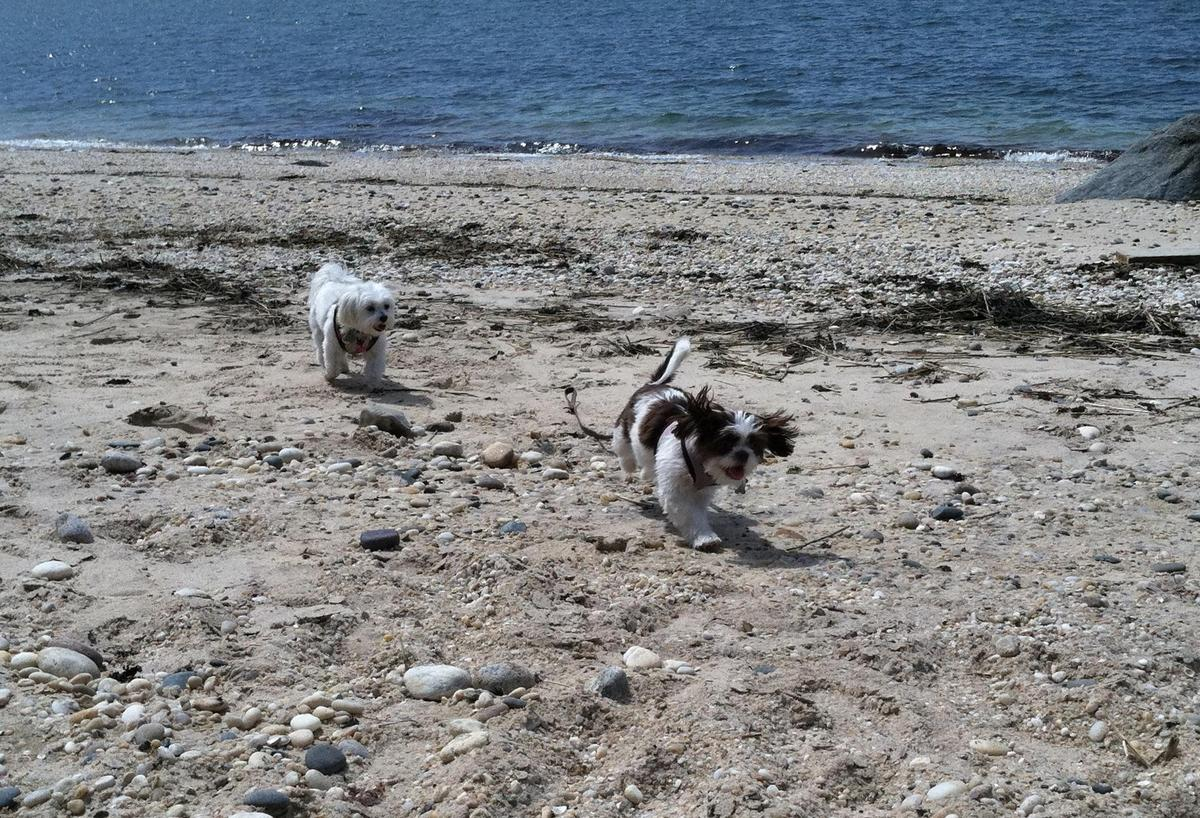 Bella chasing Lily @ Cliffside Resorts, Greenport, NY