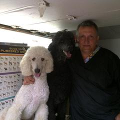 Standar Poodle Amazing Breed