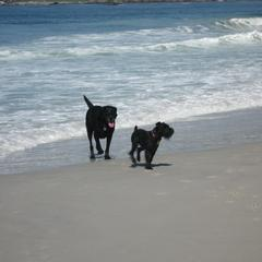 Murphy's new friend Buddy on Carmel Beach