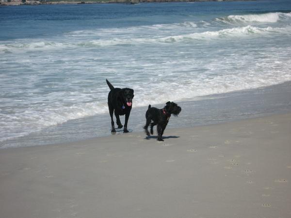 Murphy's new friend Buddy on Carmel Beach