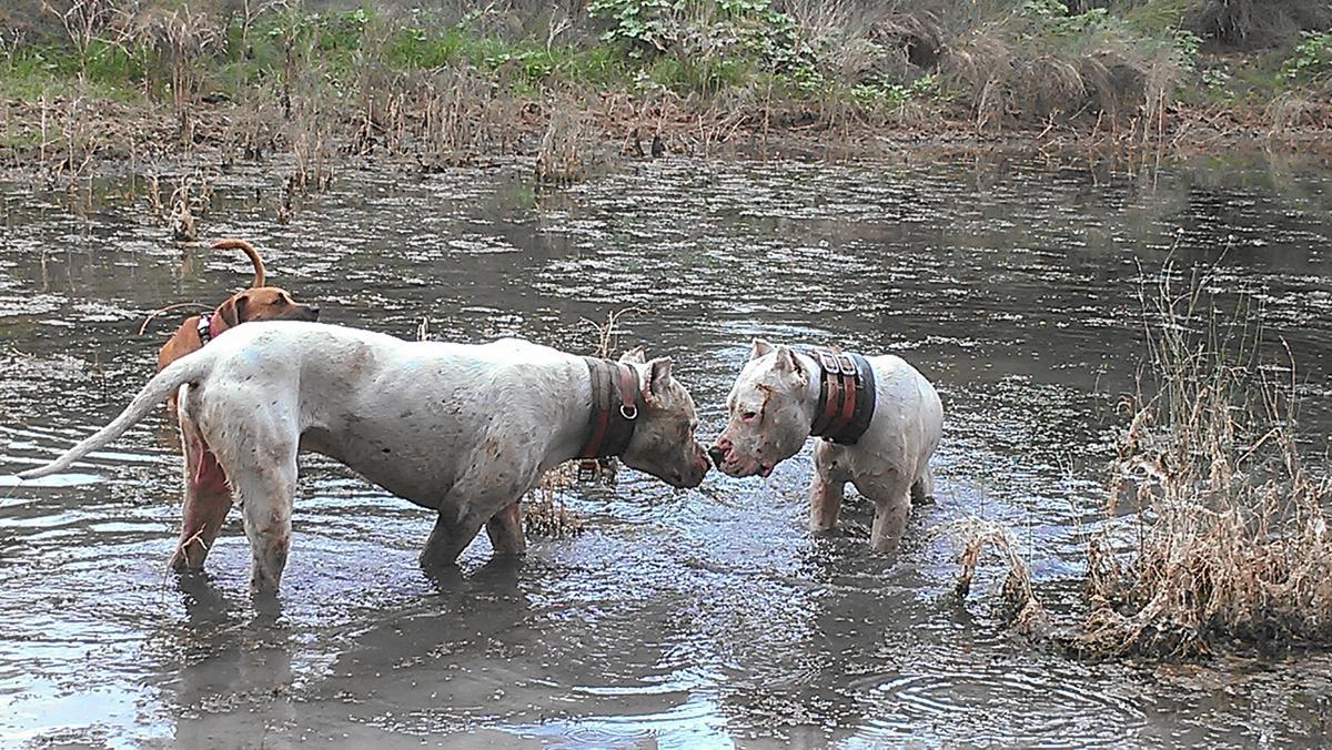 patagonia dogos argentino