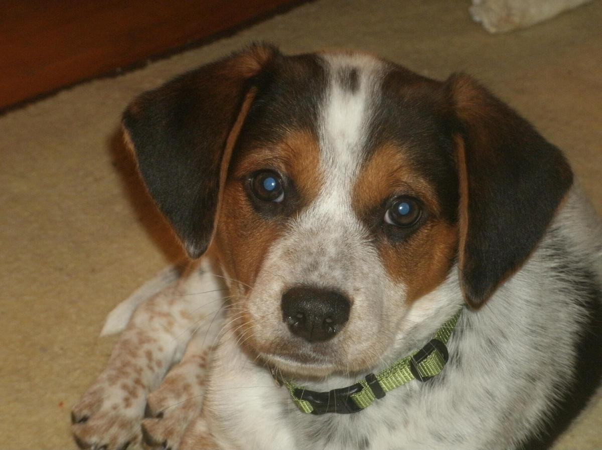 blue heeler and beagle mix