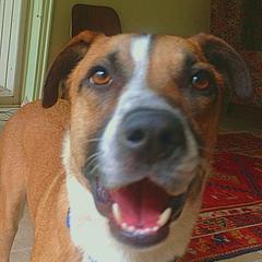 """Lucky"" American Foxhound Adoption"