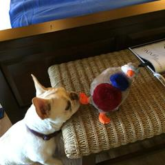 Luna enjoying her toy from Quail Lodge Resort & Golf Club