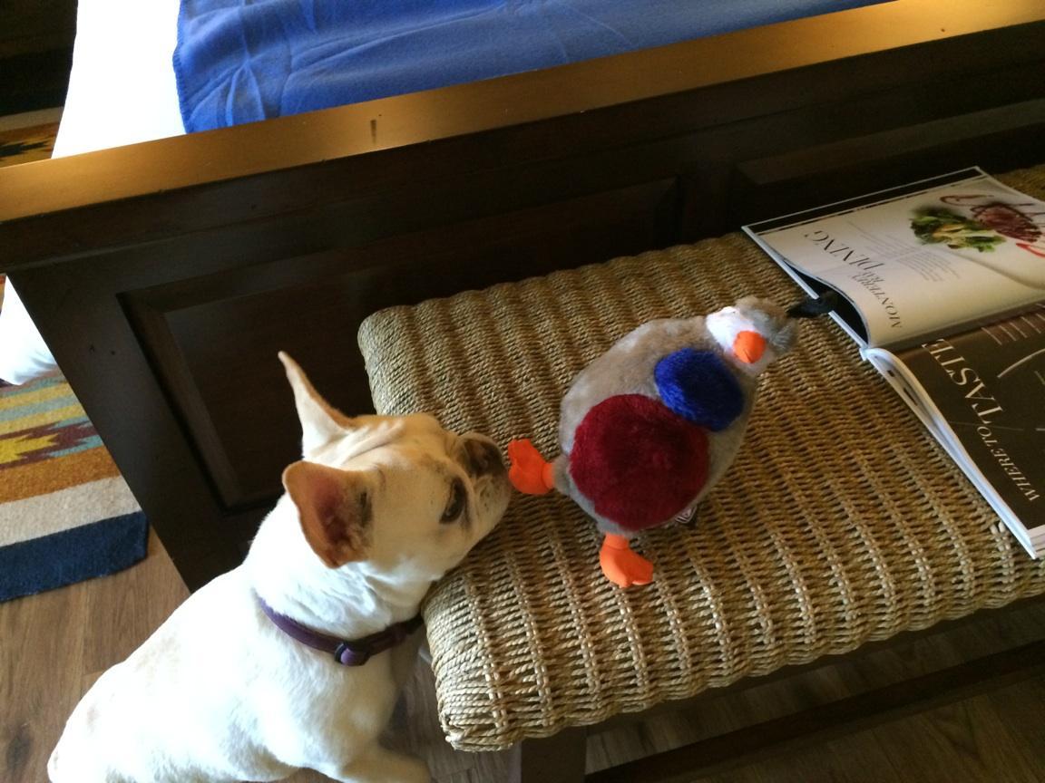 Luna enjoying her toy from Quail Lodge Resort & Golf Club