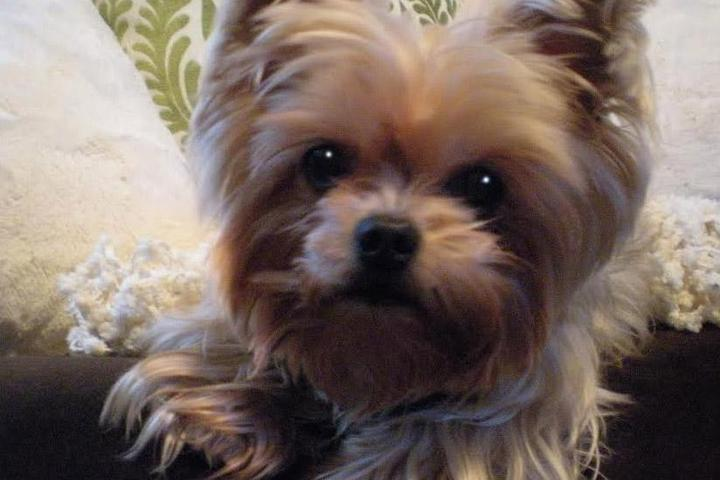 Pet Friendly Save A Yorkie Rescue