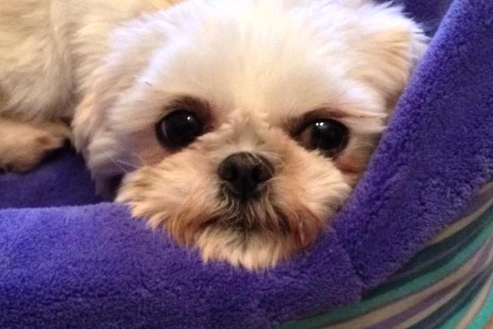 Pet Friendly NorthStar Shih Tzu Rescue