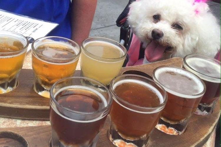 Lily the Bichon sits in front of a flight of beer