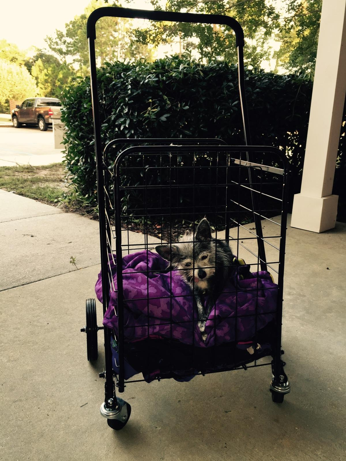 Sugarfoot Loves A Buggy Ride!