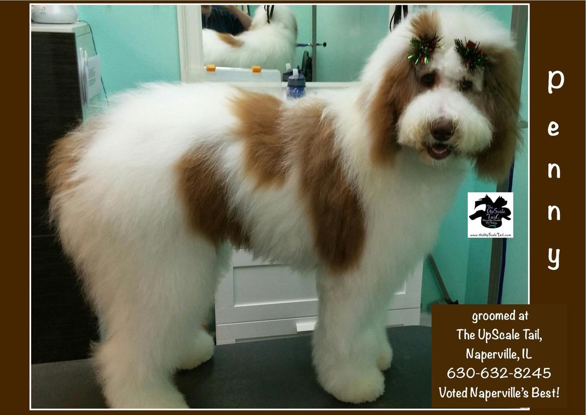 Penny The Sheepdog Standard Poodle Mix Groomed At The