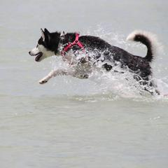 Husky in Action