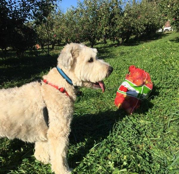 Can I Bring My Dog Apple Picking