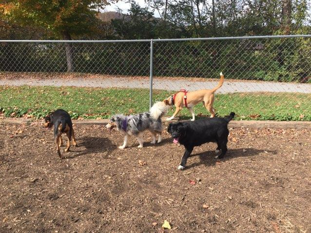Blue and friends at the Waynesville, NC dog park