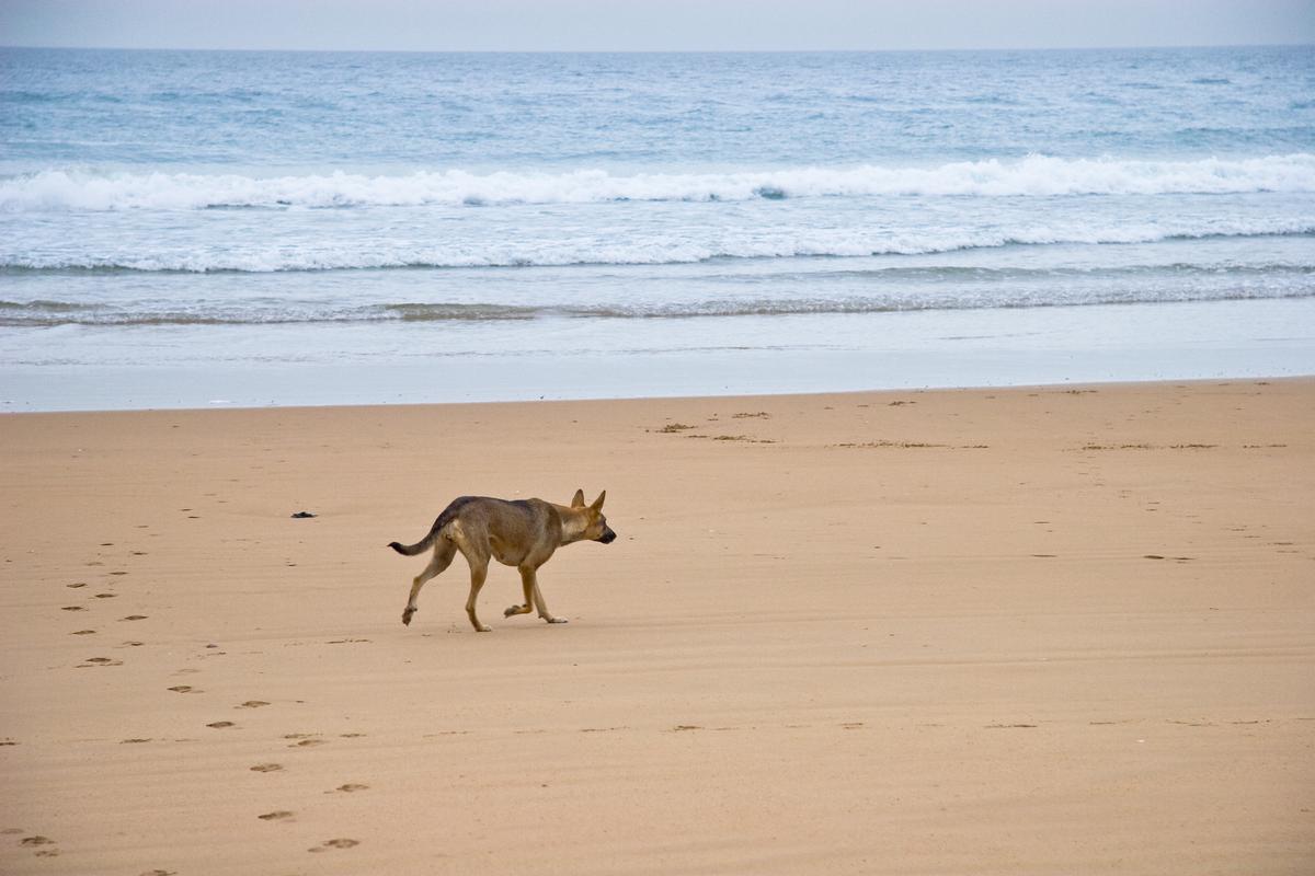 Dog Walks Along the Beach in Agadir, Morocco