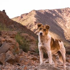 Dog Stands on Rocks in the Todra Gorge